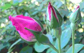 rose bud opening